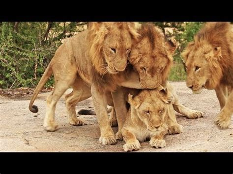 Male Lions For Lioness Youtube