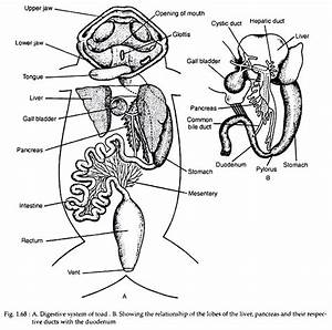 Digestive System Of Toad  With Diagram