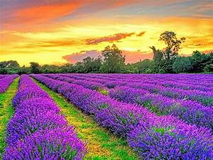 Sunset, Over, Lavender, Fields, By, Paul, Englefield