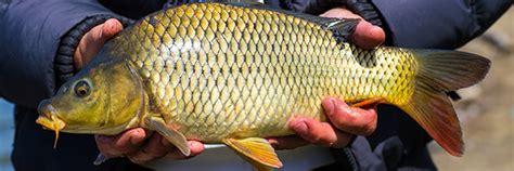 carpe cuisine guide des poissons peut on consommer la carpe