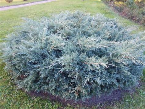 kadiķi - kadiķis Blue arrow, kadiķis, Juniperus, kadiķis ...