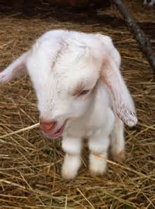 Cute Baby Goat