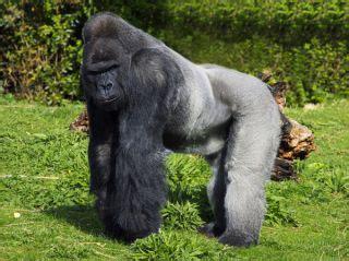 Mountain Gorilla Eating