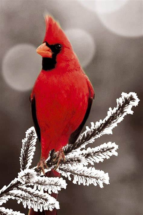 "Cardinal  ""in Winter"" (#cardinals #winter #birds Http"
