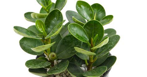rubber plant american rubber plant aspca