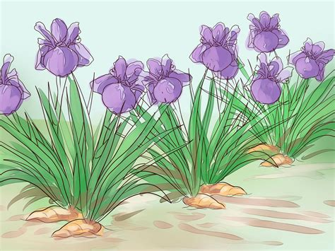 how to grow an iris how to grow iris 15 steps with pictures wikihow