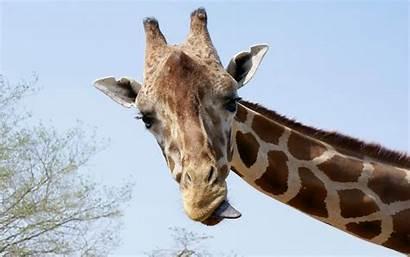 Giraffe Wallpapers Backgrounds Portrait Funny Giraffes Animal