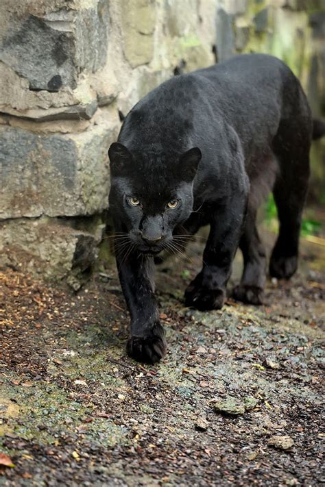 jaguar leopard oder panther wo ist der unterschied
