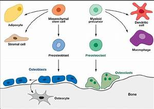 Schematic Summary Of Bone Cell Differentiation
