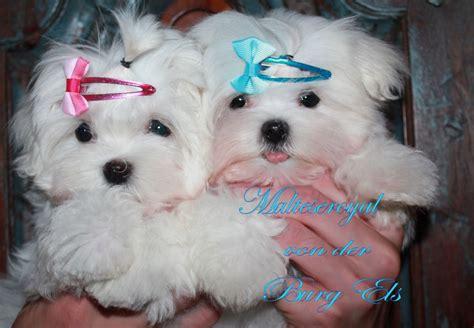 mini malteser hund mini malteser charakter gr  und