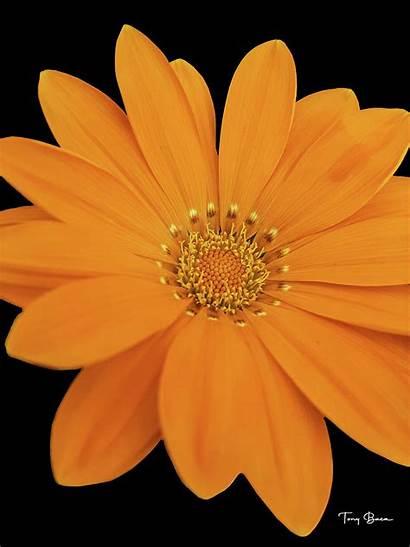 Baca Tony Daisy Orange Photograph Flower 18th