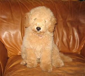 The gallery for --> Full Grown Miniature Goldendoodle Puppies