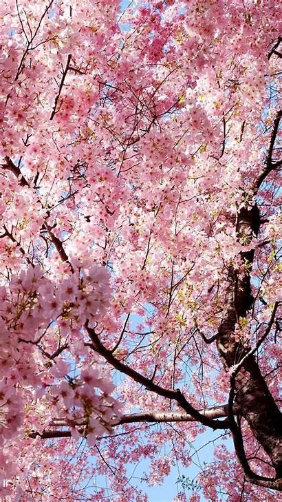 Sakura Bunga Iphone Wallpapers Hp Anime Cave