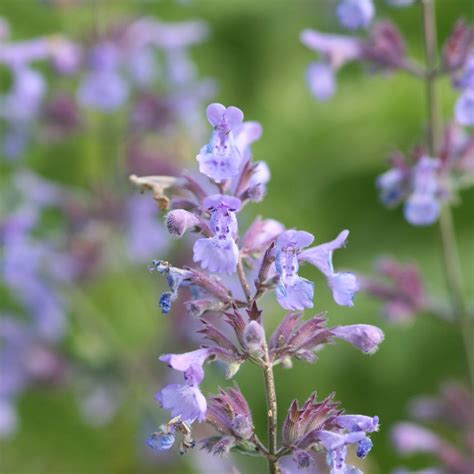 buy catmint plants buy catmint nepeta 215 faassenii delivery by crocus