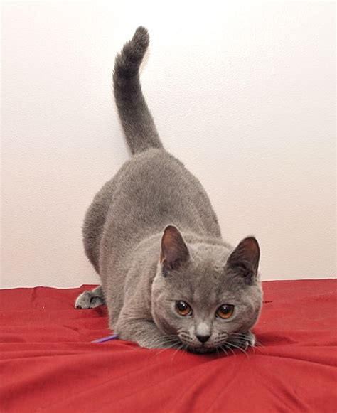 chartreux cat price 17 best images about cats chartreux on mondays