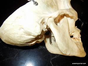 Skull Mastoid Unlabeled Jpg