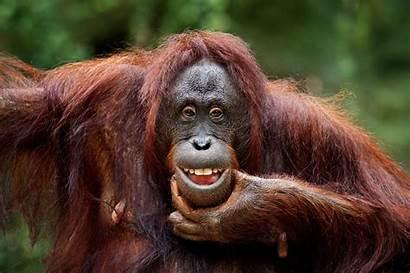 Animal Monkey Smiling Laughing Orangutan Funny Keep