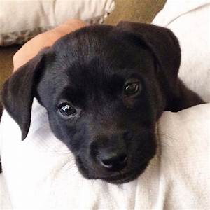 Harvey Baby. Black lab/ pit bull mix puppy | Pit Bull ...