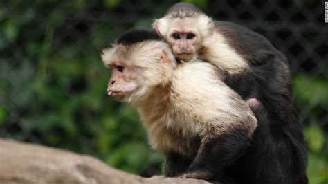Justin Bieber's Monkey Starts New Life In German Zoo Cnncom