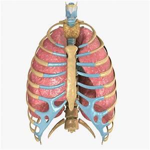Human Rib Cage Respiratory 3d Model