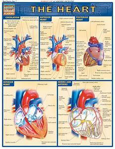 Barcharts Heart Quick Study Guide