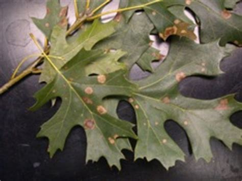tubakia actinopelte leaf spot texas plant disease diagnostic lab