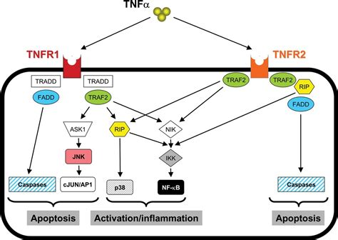 TNF-α as a promising therapeutic target in chronic asthma