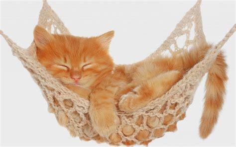 Kitten In A Hammock by Cat Sleeping In A Hammock Hd Animals Wallpapers