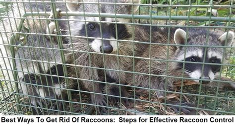 How To Catch A Raccoon In My Backyard by How To Get Rid Of Raccoons Best Diy Methods Raccoon
