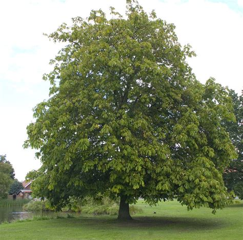 chestnut trees in chestnut tree by evelivesey on deviantart