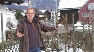 Reben Richtig Schneiden : 750 die erziehung von reben am pfahl campbell early vea ~ Lizthompson.info Haus und Dekorationen