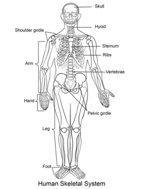 ausmalbild das menschliche skelett ausmalbilder