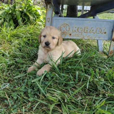 golden retriever puppy dog  sale  greeneville tennessee
