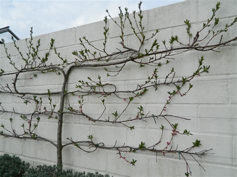 how to prune and maintain an espalier peach tree avalon