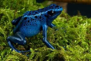Frosch Als Haustier : blauer giftpfeilfrosch stockbild bild von frosch haustiere 22079225 ~ Buech-reservation.com Haus und Dekorationen