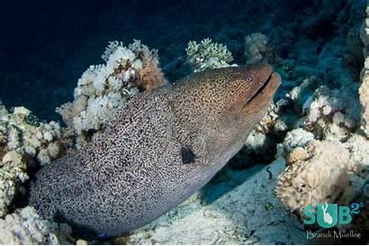 Eel Moray Giant Fish Creatures Brandi Sea