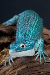 REPTILES4ALL | Abronia graminea, Blue alligator lizard ...