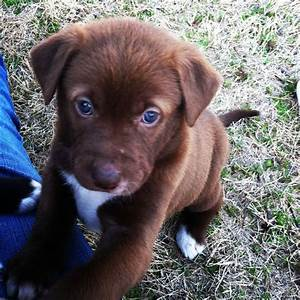 Chocolate Labrador Puppy With Blue Eyes | Puppies ...