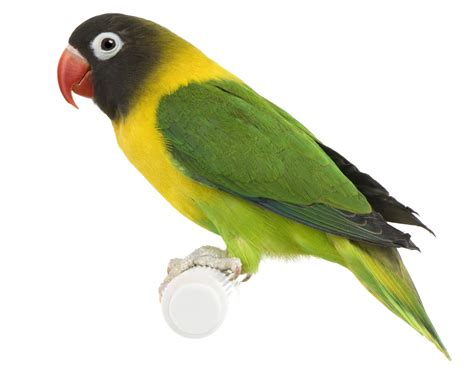 Awesome Information About All The Lovebird Species
