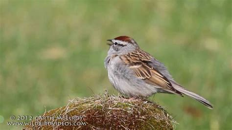 show me a picture of a sparrow chipping sparrow singing youtube