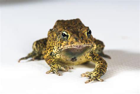 endangered houstonian houston toad populations