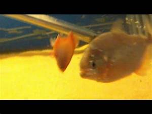 Piranha attack a wagtail platy - YouTube