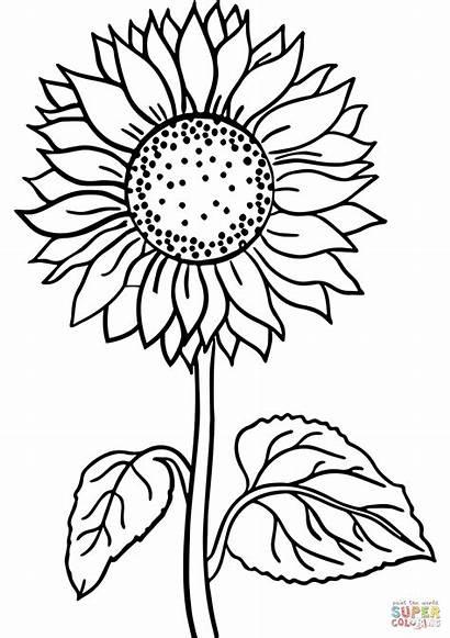 Sunflower Coloring Girasol Desenhos Colorare Colorear Colorir