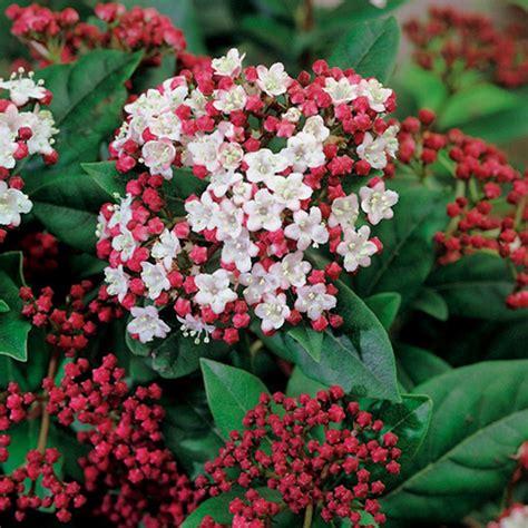 Kübelpflanzen Winterhart Immergrün by Buy Laurustinus Viburnum Tinus Lisarose Pbr