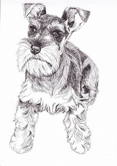 Schnauzer Drawing Miniature Drawings Dog Giant Paintingvalley