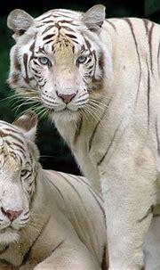 White Tiger - Animals Wallpaper (13128828) - Fanpop