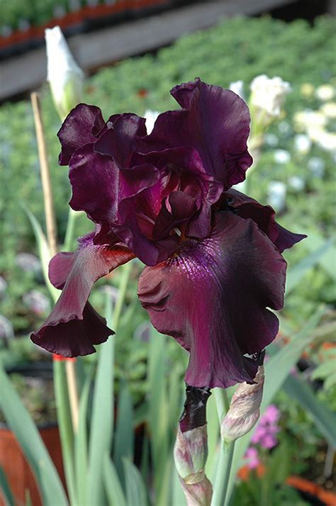 Superstition Iris (Iris 'Superstition') in Winnipeg