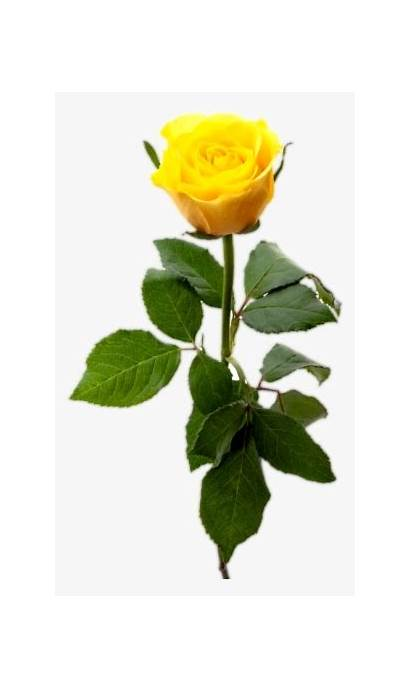 Yellow Rose Clipart Plaque Clipground