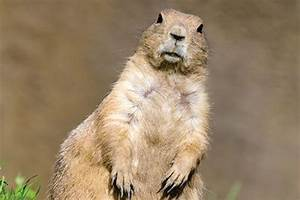Prairie Dog Facts, Information, and Photos - American ...