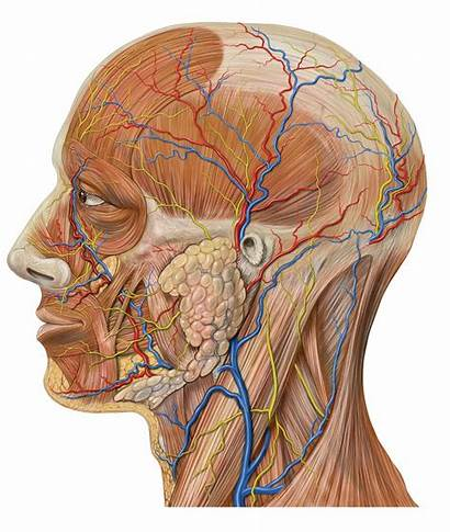 Wikipedia Space Parapharyngeal Anatomy Head Lateral